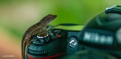 Gekko on Nikon