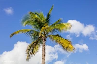 Bahamas, Palm tree