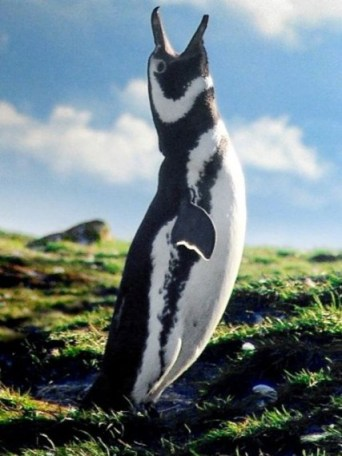 pinguin chile