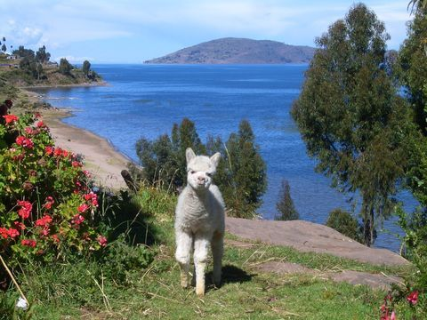 Alpaca Capachica_40201