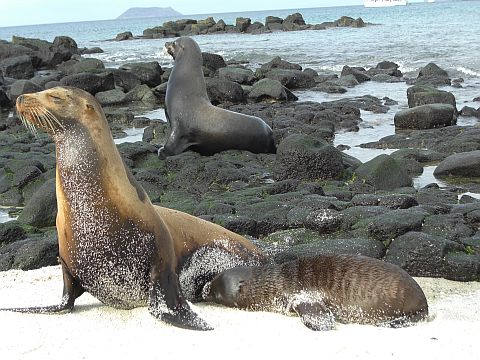 Seelöwenmutter mit Jungem