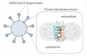 Zipper motif mediates SARS-CoV-2 peak trimer in host cell membrane