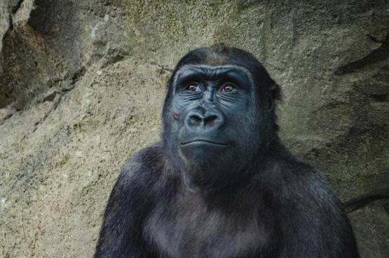 ゴリラモンキー哺乳類動物黒い顔の毛皮