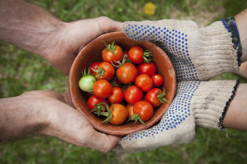 tomato plant crops fruit red fresh leaves green bowl hands gloves
