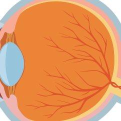 Eye Diagram Of Chicken Bt Plug Rj11 Wiring Anatomy - Mydr.com.au