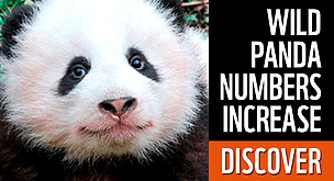 Pandas Natural Enemies And Defences WWF