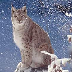 Panda Life Cycle Diagram Mn Triton Radio Wiring Eurasian Lynx | Wwf