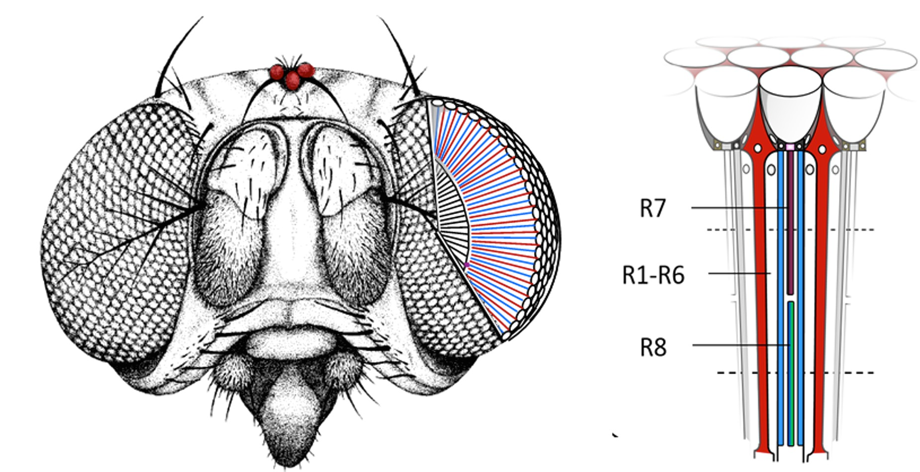 hight resolution of an unusual protein in the eye of drosophila