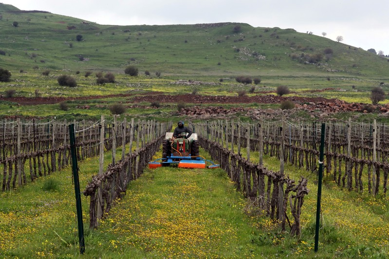 A man drives an agricultural tractor in a vineyard in the Israeli-occupied Golan Heights