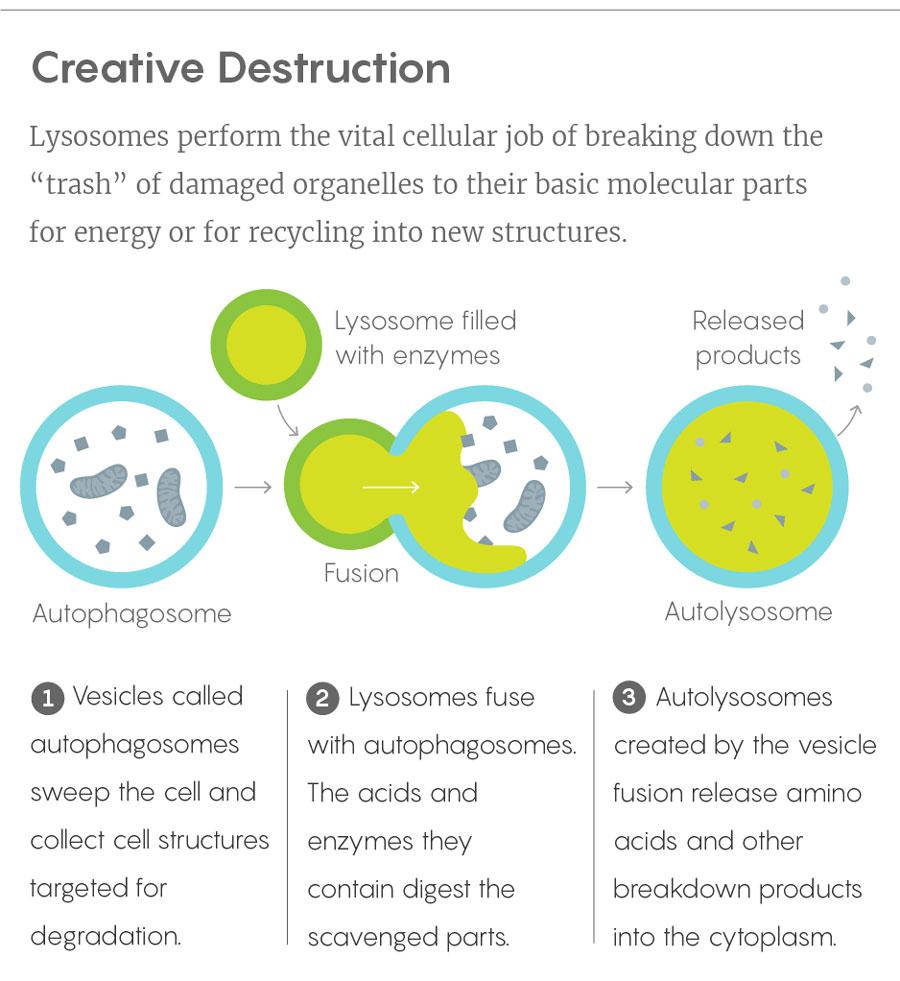 How Lysosomes Regulate Genes | Quanta Magazine