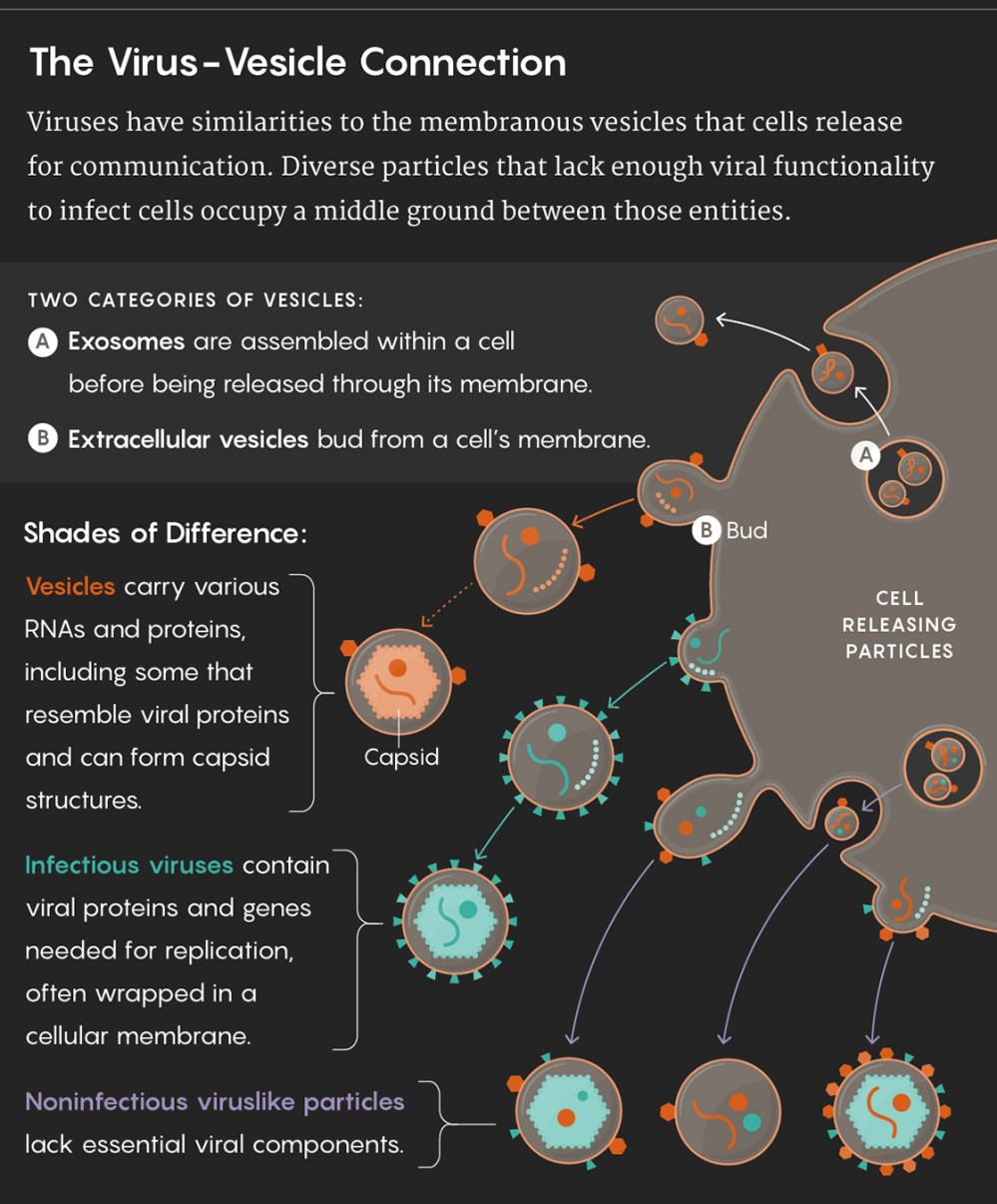 medium resolution of graphic illustrating the virus vesicle connection viruses have similarities to the membranous vesicles that