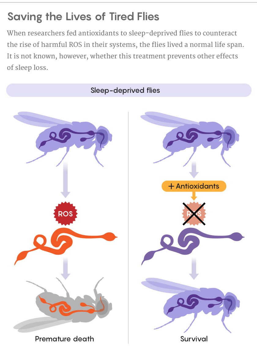 A figure showing how feeding antioxidants to sleep-deprived flies enabled them to live a normal life span.