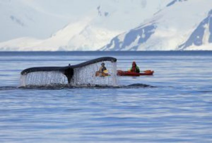 Humpback whale tail with kayak, Antarctica