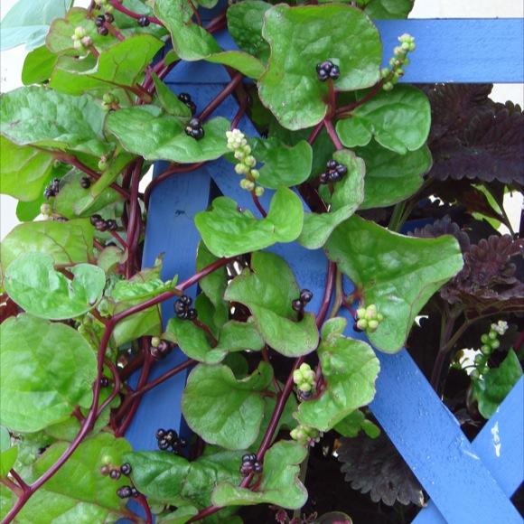 Malabar Spinach  Red  Friends School Plant Sale