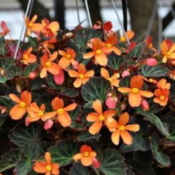 Begonia Bolivian  Sparks Will Fly  Friends School Plant