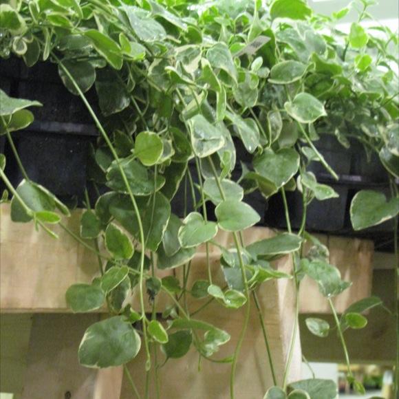 Vinca Vine Expoflora Friends School Plant Sale
