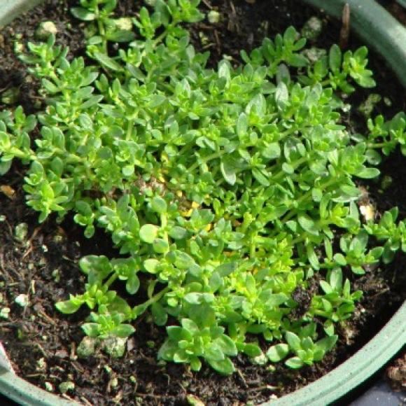 Tiny Succulent Plants