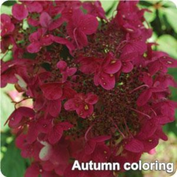 Hydrangea Panicled  Fire and Ice  Friends School Plant Sale