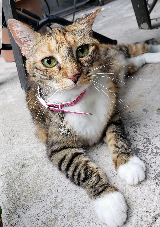 lost female cat white