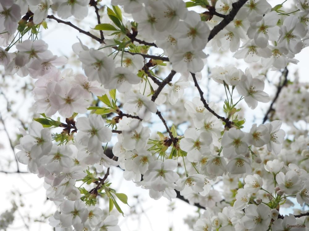 花 桜 葉 - Homu Interia