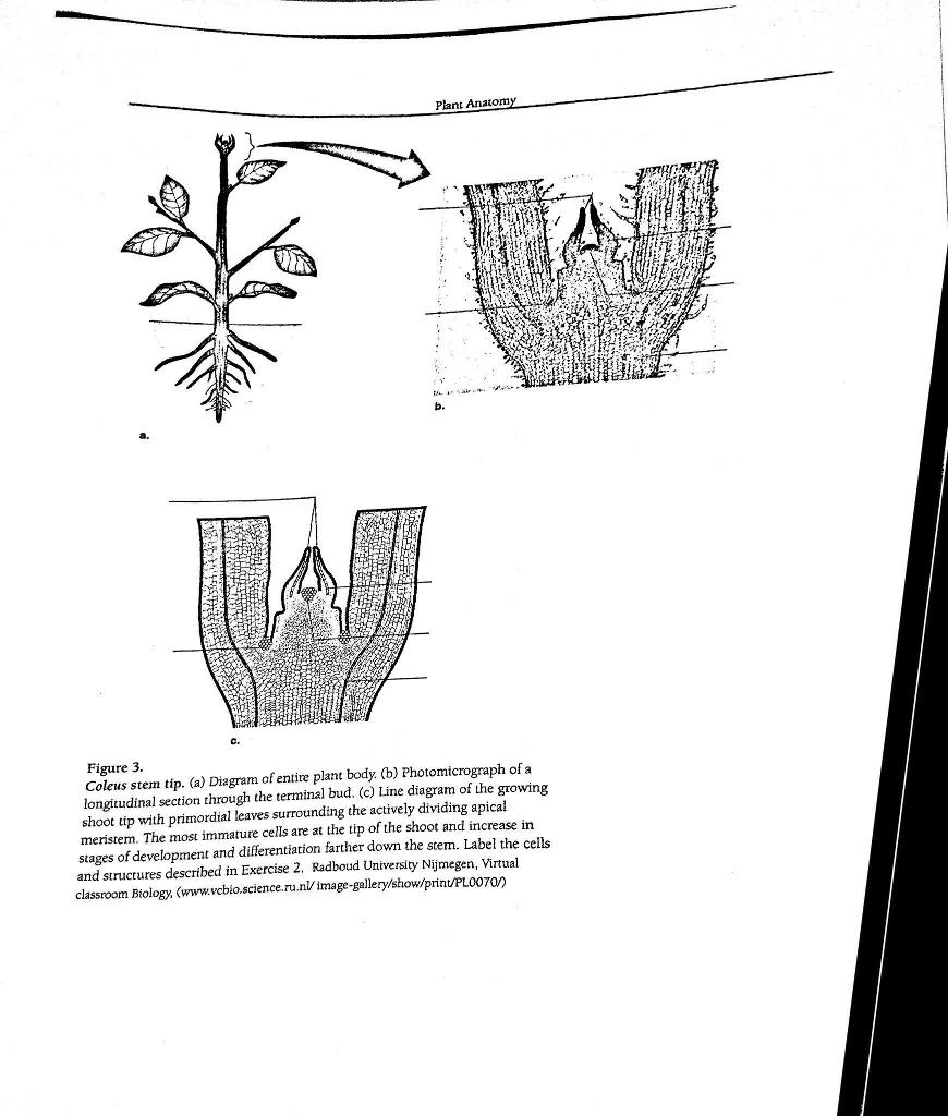 Solved: Plant Anatom B. C. Figure 5 Stem Anatomy. (a) Diag