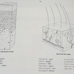 Dermis Layer Diagram 89 Toyota Pickup Radio Wiring Solved 15 Epidermis And Of Skin From The Scal Scalp Stratum Basale Green Reticular