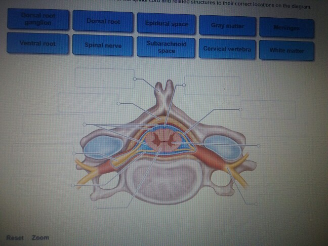 cross section spinal cord diagram labeled vectra b mid wiring to label all data block vertebral column solved click and drag the labels