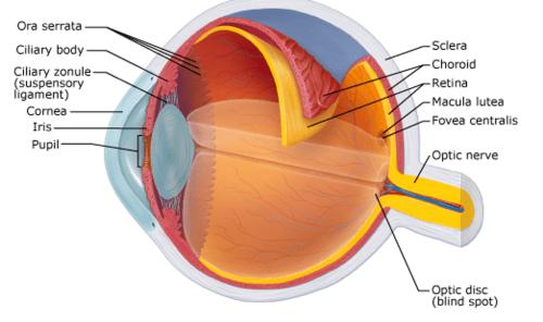 small resolution of ora serrata sclera choroid retina macula lutea fovea centralis ciliary body ciliary zonule suspensory ligament