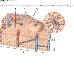 question 16 choose all of the correct characteristics about bone tissue ua veins accompany arteries in bone tissue ob tearing of the hyaline cartilage  [ 1024 x 817 Pixel ]