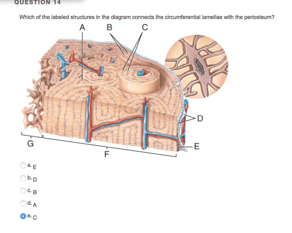 hight resolution of question 16 choose all of the correct characteristics about bone tissue ua veins accompany arteries in bone tissue ob tearing of the hyaline cartilage