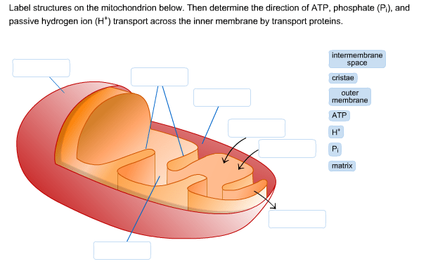 mitochondrion structure diagram x18 pocket bike wiring solved label structures on the below then determine direction of atp phosphate pi and passive hydrogen ion h transport across inner