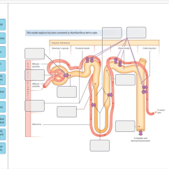 Nephron Diagram From A Textbook Turn Signal Flasher Wiring Solved Drag The Labels Onto To Identify S 100 Mosm This Model Has Been Untwisted So That Fluid Flows Left Right