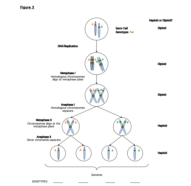 Solved: 1. Possible 4 Genotypes? Use Figure 3 To Answer Qu