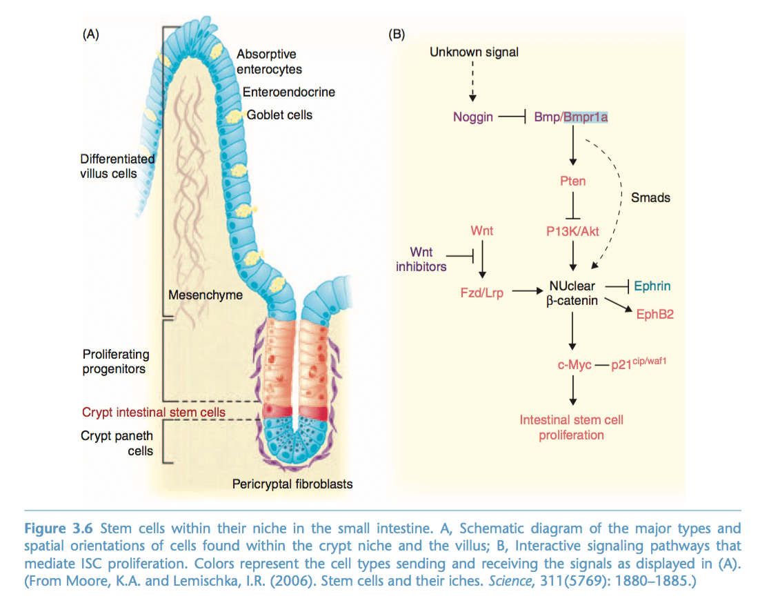 hight resolution of question using the diagram provided describe the signal pathway that leads to the prolification of intestinal stem cells