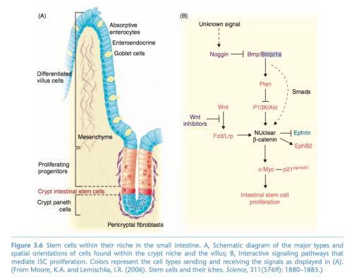 small resolution of question using the diagram provided describe the signal pathway that leads to the prolification of intestinal stem cells