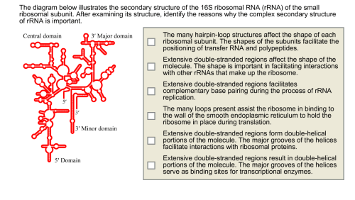 small resolution of the diagram below illustrates the secondary structure of the 16s ribosomal rna rrna of