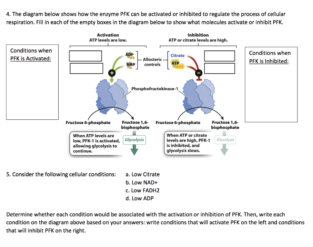 hight resolution of the diagram below shows how the enzyme pfk can be activated or inhibited to