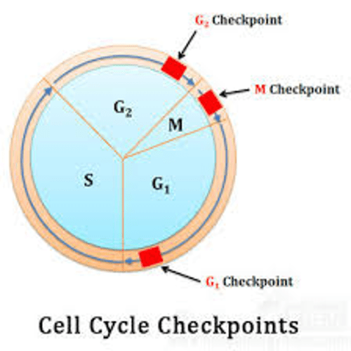small resolution of g checkpoint m checkpoint 2 g checkpoint cell cycle checkpoints