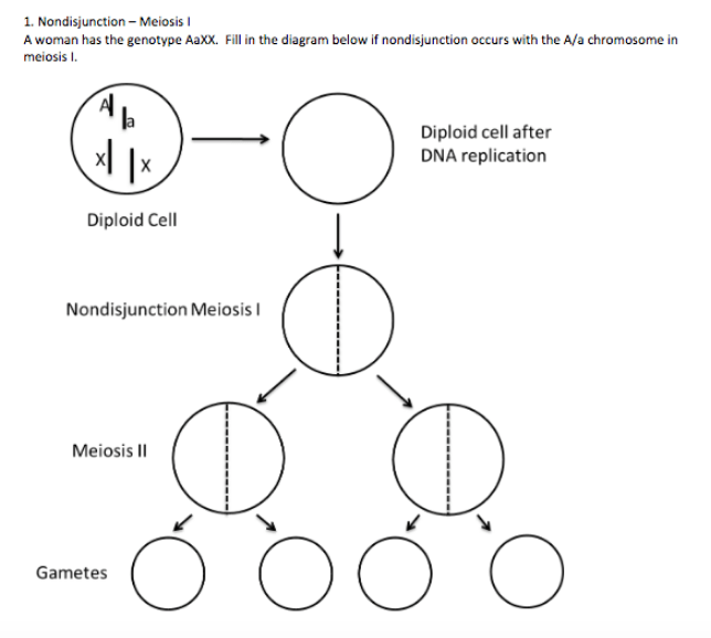 Solved: 1. Nondisjunction Meiosis A Woman Has The Genotype