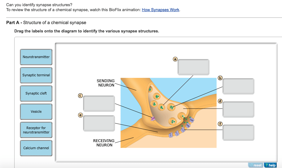 synapse diagram label nephron labeled solved structure of a chemical drag the labels on question onto to identify various