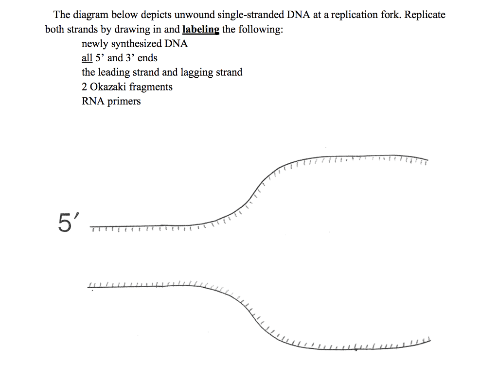 hight resolution of the diagram below depicts unwound single stranded dna at a replication fork replicate both