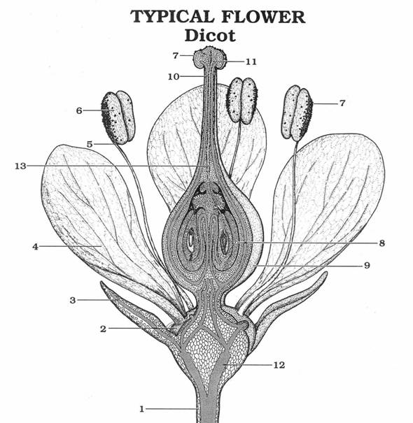 Solved: TYPICAL FLOWER Dicot 7 10_ 7 6 5 13 8 4 9 3 2 12