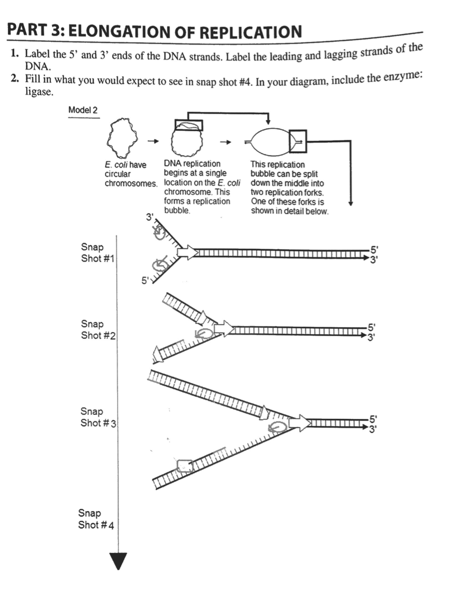 hight resolution of part 3 elongation of replication 1 label the 5 and 3 ends of the