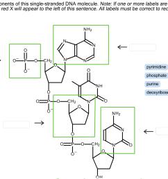 solved label the components of this single stranded dna m rh chegg com dna molecule labeled diagram of dna molecule worksheet [ 1246 x 904 Pixel ]