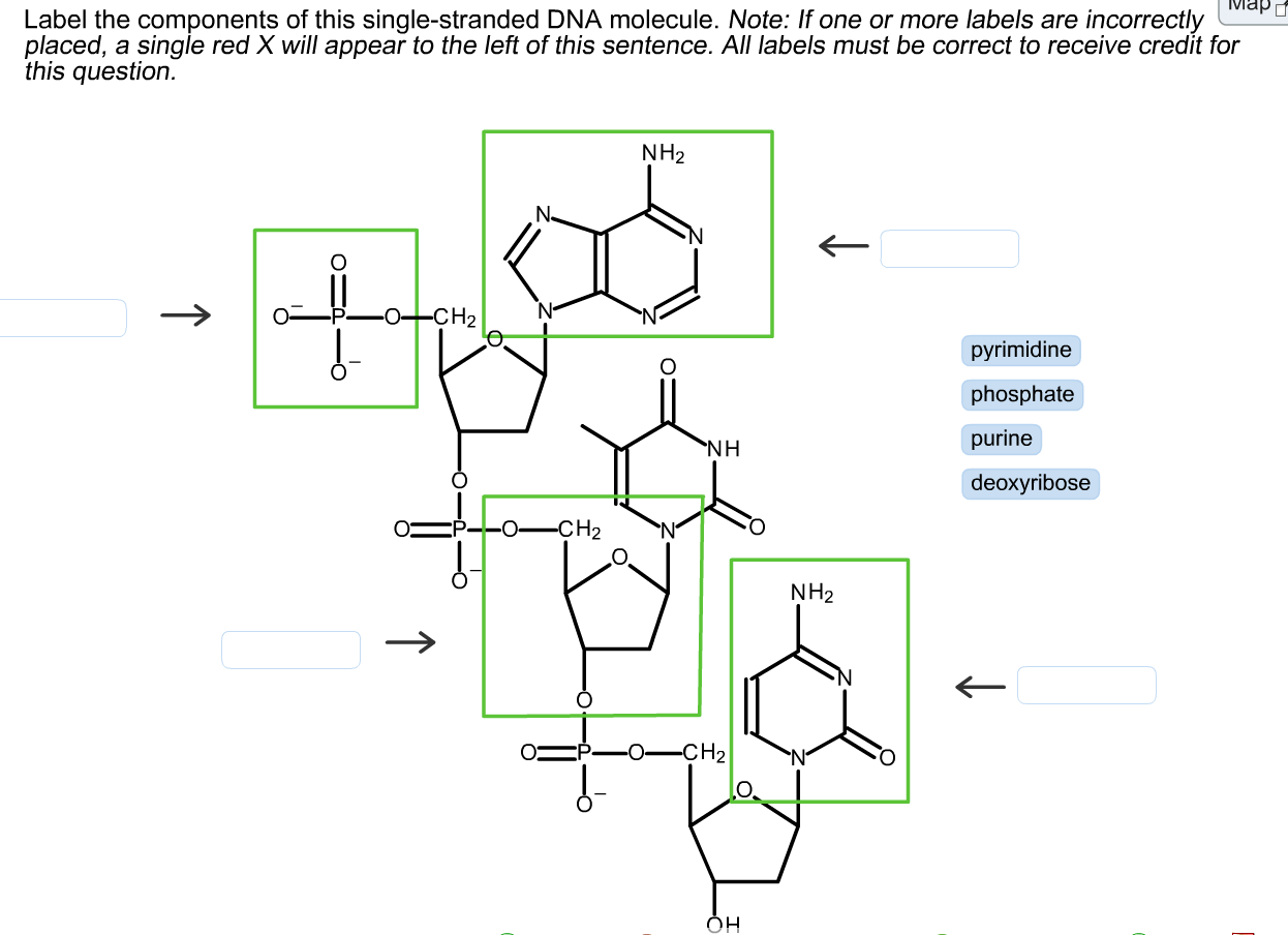 hight resolution of solved label the components of this single stranded dna m rh chegg com dna molecule labeled diagram of dna molecule worksheet