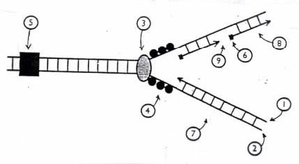 Solved: Below Is A Diagram Of A DNA Replication Fork In E