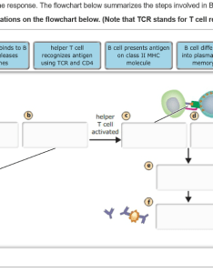 cells are involved in the humoral immune response flowchart below summarizes steps also solved respons rh chegg
