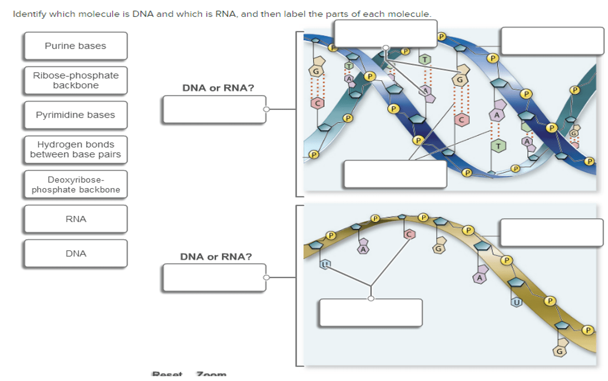 hight resolution of identify which molecule is dna and which is rna a