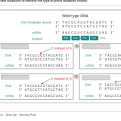 Sequence Diagram Questions And Answers Wiring For Kenwood Ddx374bt Solved: Point Mutations Dna Polymerase Is Very Accurate An... | Chegg.com