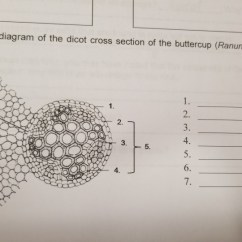 Dicot Root Diagram Echo Leaf Blower Parts Solved 2 Label The Of Cross Section Buttercup Ranunculus